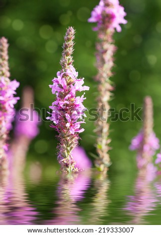 flowering purple loosestrife plant (Lythrum Salicaria) or crybaby-grass, close-up, selective focus. Photo improved by water with reflection  - stock photo