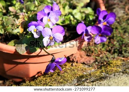Flowering purple pansies in the garden  - stock photo