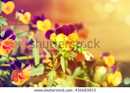 Flowering purple pansies in the garden as floral background n sunny day. - stock photo