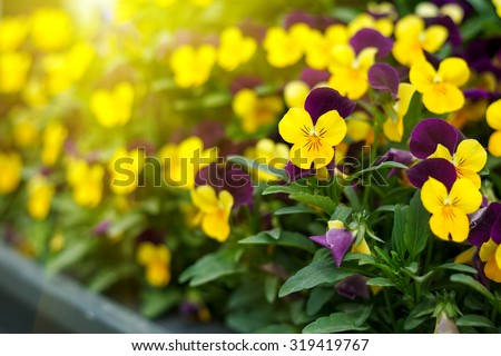Flowering purple pansies in the garden as floral background n sunny day. Selective focus on one flower.  - stock photo