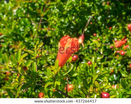 Flowering quince (Chaenomeles speciosa) is a thorny deciduous or semi-evergreen shrub native to eastern Asia. - stock photo