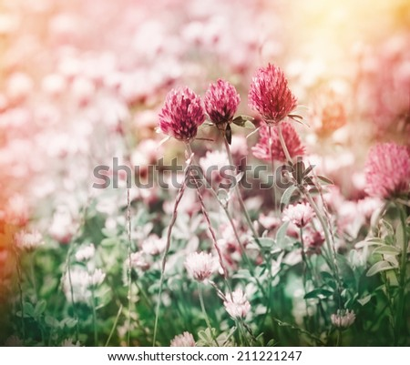 Flowering red clover in meadow - stock photo