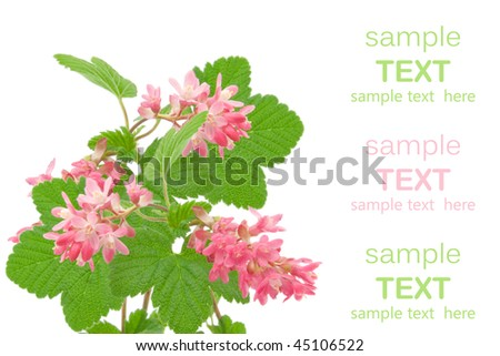 Flowering red Currant (Ribes sanguineum),  on white background with room for text - stock photo