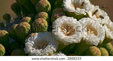 Flowering Saguaro - stock photo