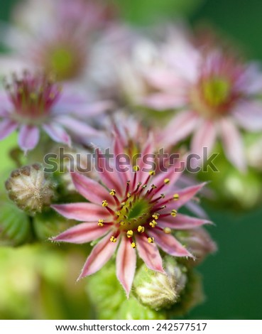 Flowering sempervivum in macro - stock photo