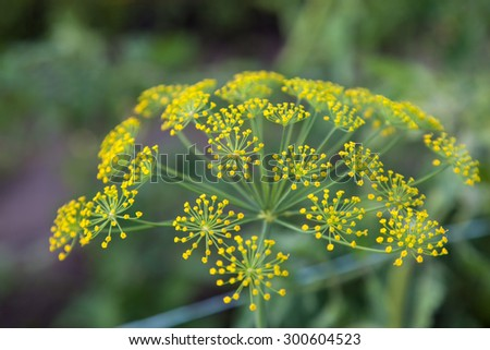Flowering spicy herbs dill (Fennel) outdoors closeup - stock photo