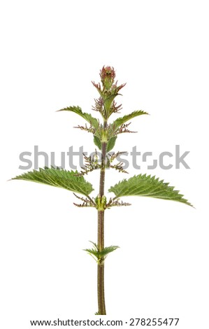 Flowering stinging nettle, Urtica dioica or common nettle isolated against white - stock photo