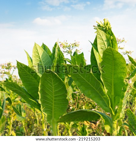 flowering tobacco on the field - stock photo