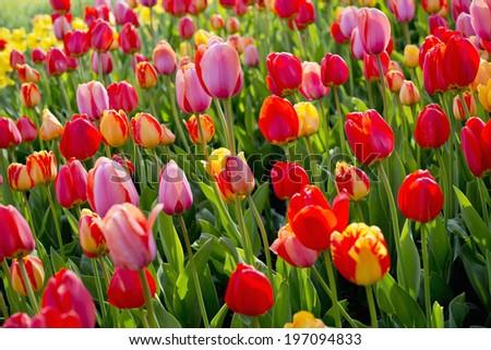 Flowering tulips - stock photo