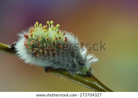 Flowering willow. Beautiful catkin of Tea-leaved Willow (Salix phylicifolia).  - stock photo