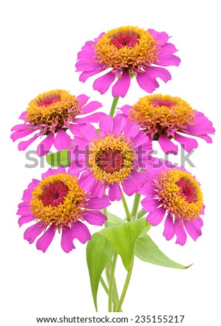 Flowering Zinnia daisies. Isolated on a white  - stock photo