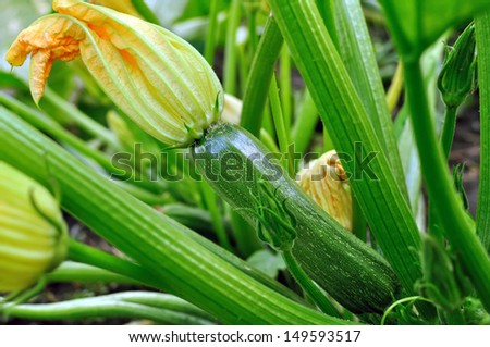 flowering zucchini in the vegetable garden - stock photo