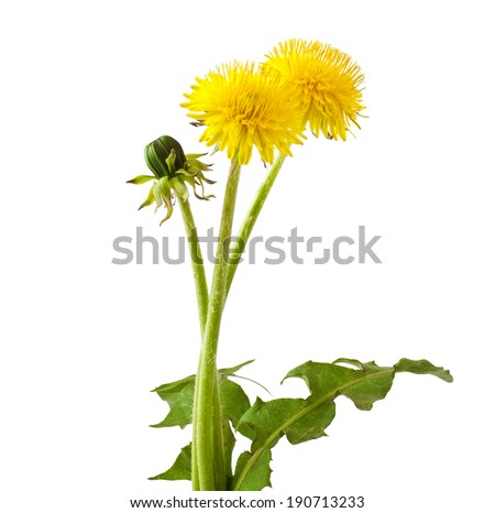 Flowers and a bud of dandelion (Taraxacum officinale), isolated on white background  - stock photo