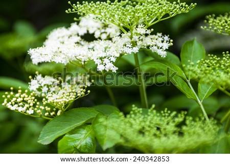 Flowers and buds of the black elder (Sambucus). - stock photo