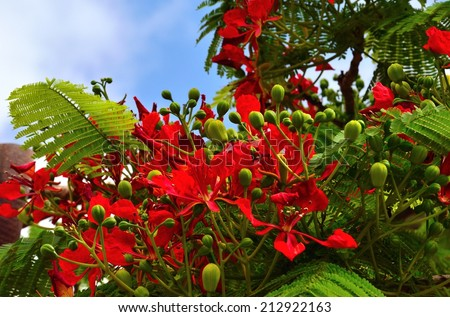 Flowers and floral buds of flamboyan - stock photo