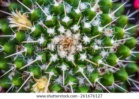 flowers and thorns cactus closeup, green background - stock photo