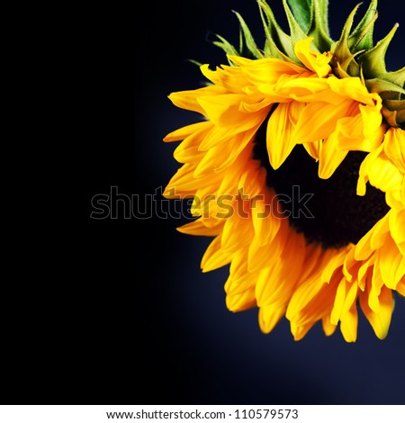 Flowers background with beautiful sunflowers - stock photo