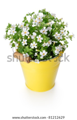 Flowers Bacopa (Sutera diffusus) in yellow bucket. Isolated on white. - stock photo