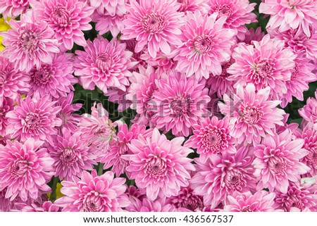 Flowers. Beautiful flowers. Pink  flowers. Pattern flowers. Chrysanthemum flowers. Bouquet pink chrysanthemum flowers for background and wallpaper - stock photo