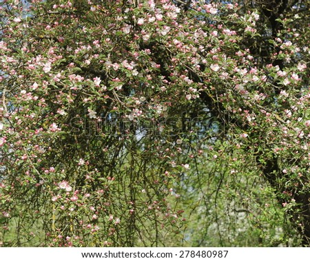 Flowers Blooming Apple Tree - stock photo