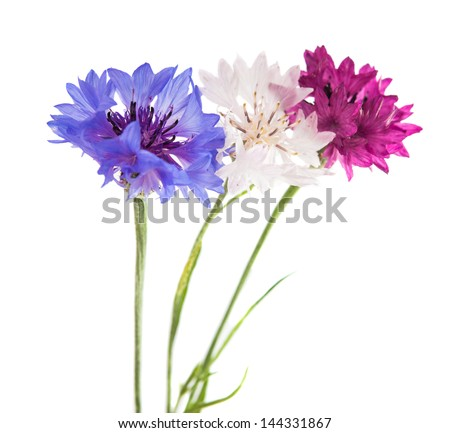 Flowers cornflowers on a white background - stock photo
