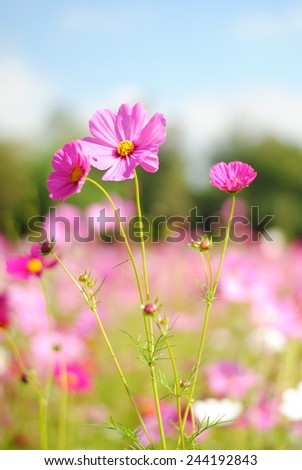 flowers cosmos flowers wall green nature background fresh wallpaper - stock photo