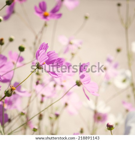 Flowers cosmos on softly blurred background - stock photo