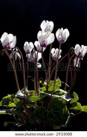flowers Cyclamen - stock photo