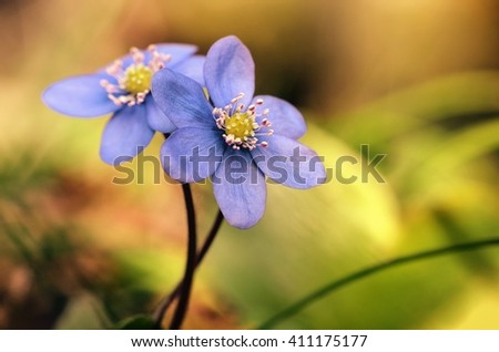 Flowers. Flowers - hepatica nobilis in forest.Flower. Blue flowers on nature background. Flowers. Card with spring flowers. Flowers outdoor with copy space. Spring flowers hepatica nobilis in nature. - stock photo