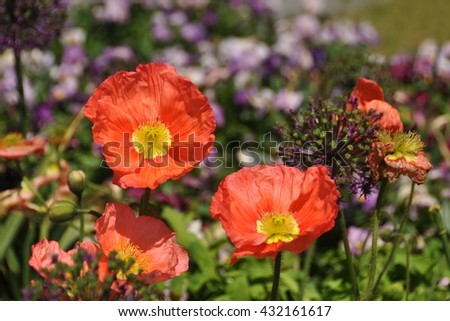 Flowers. Flowers - poppy flowers background. Flowers in grass. Flowers meadow. Flowers in green. Flowers in garden. Red flowers. Summer flowers. Flowers banner. Beautiful flowers. Spring flowers. - stock photo