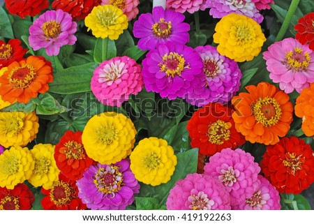 Flowers. Flowers zinnia, flowers background. Flowers. Flower. Color flowers. Flowers Zinnia elegans. Flowers. Flowers in garden. Flowers. Flowers. Color flowers zinnia. Flowers outdoor. Flowers.  - stock photo