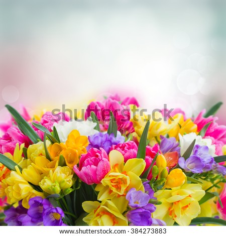 flowers garden - multicolored  freesia and daffodil  flowers on blue garden bokeh background - stock photo