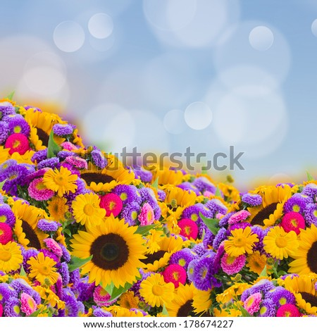 flowers garden with sunflowers and aster daisyes flowers close up - stock photo