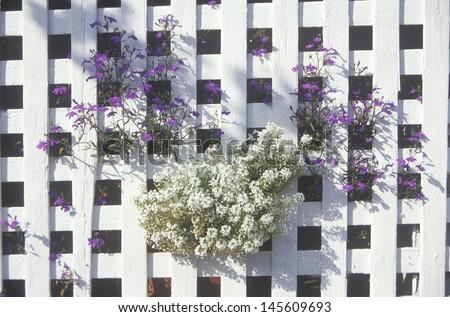 Flowers growing through white lattice fence - stock photo