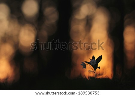 flowers in a forest in spring  - stock photo