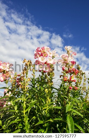 Flowers in the field (Penstemon 'Barbara Barker') - stock photo