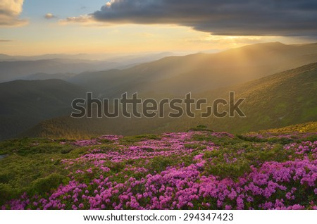 Flowers in the mountains. Pink rhododendron on the slopes. Beautiful sunset. Karpaty, Ukraine, Europe - stock photo