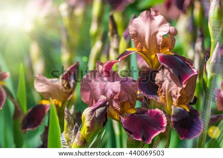 Flowers iris blooming in the summer background - stock photo