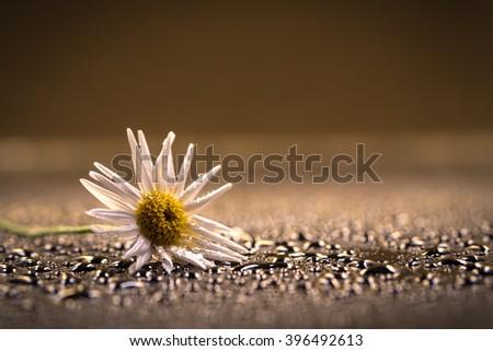 Flowers, Margaret, dew drops, close-up, macro. - stock photo