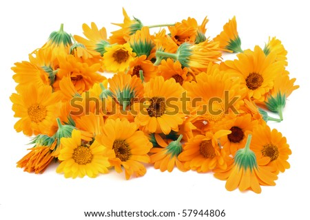 Flowers of a  calendula collected that them to dry. Isolated on white. - stock photo