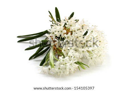 Flowers of a Ledum with leaves on a white background - stock photo