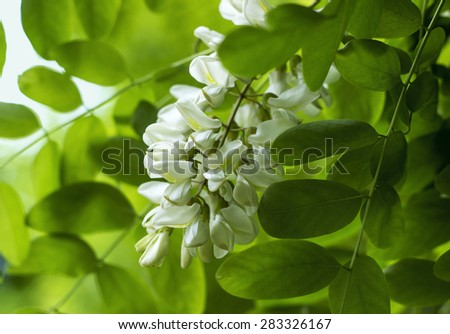 Flowers of a white acacia against green foliage - stock photo