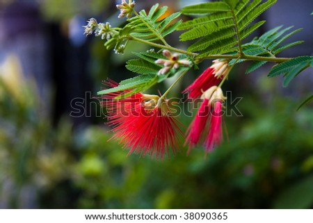 Flowers of acacia (albizzia julibrissin or Silk tree) - stock photo