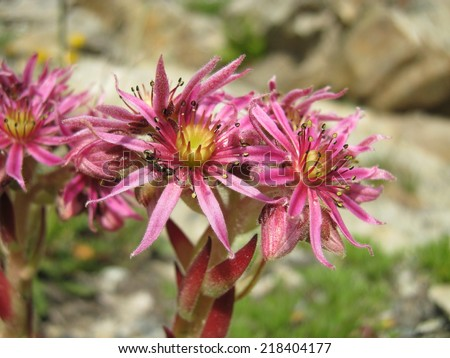 Flowers of an endemic plant in the Alps - stock photo