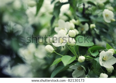 Flowers of apple - stock photo