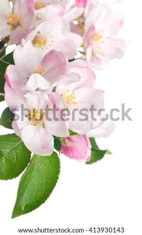 Flowers of apple. isolated - stock photo