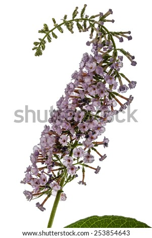 Flowers of Buddleja, lat. Buddleja davidii, isolated on white background - stock photo