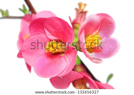 Flowers of Chaenomeles Japonica (Japanese Quince) blossoming. Isolated - stock photo