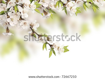 Flowers of cherry - isolated over white - stock photo