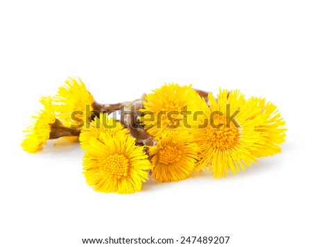 Flowers of coltsfoot (Tussilago farfara) - stock photo